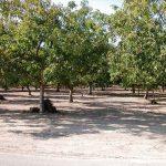 Orah: Određivanje broja stabala po hektaru pri zasnivanju voćnjaka