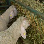 Kako pravilno organizovati ishranu priplodnih ovaca