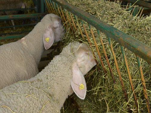 ovce jedu seno