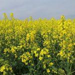 Setva uljane repice i potrebna količina semena za optimalan sklop