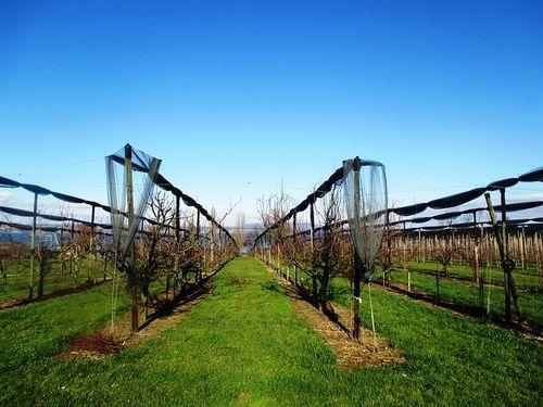 Đubrenje voćaka je kompleksan, ali višestruko isplativ posao
