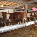 Virusna pneumonija goveda – klinička slika, terapija, zaštita od bolesti