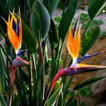 Strelicija rajska ptica u svetu cveća