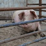 Objekti za svinje: podela objekata, zahtevi kategorija