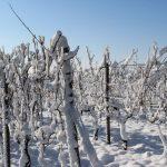 Vinova loza: Uticaj i zaštita čokota od niskih teperatura