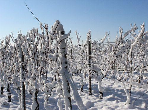 vinova loza zimi