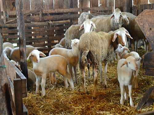 ovce ovcarnik