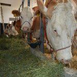 Stočarstvo u Srbiji: Manje goveda, svinja, koza i živine