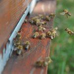"""Moku"" virus pretnja medonosnim pčelama?"
