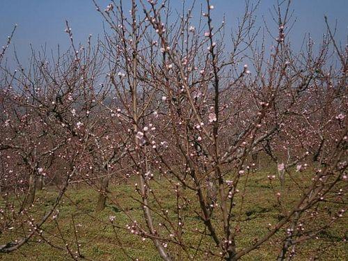 vocnjak kajsija pocetak cvetanja