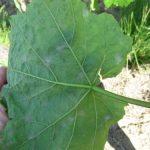 Obaveštenje vinogradarima: Preventivno protiv pepelnice