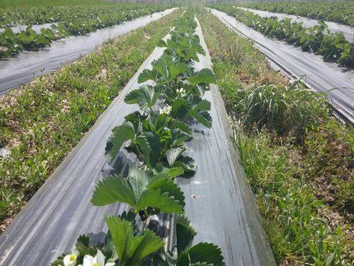 Zaštita zasada jagoda