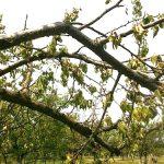 Apopleksija kajsije – naglo sušenje biljke