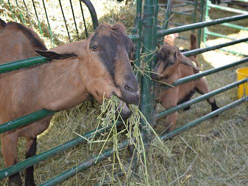 Izbor hraniva za koze – na šta obratiti pažnju