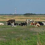 Ležanje krave posle teljenja i kako joj pomoći