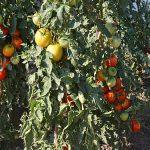 Nekoliko saveta o gajenju paradajza u organskoj bašti