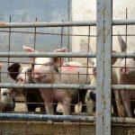 Ishrana svinja – Prednosti pravilne ishrane