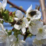 U voćnjacima registrovano prisustvo rutave bube