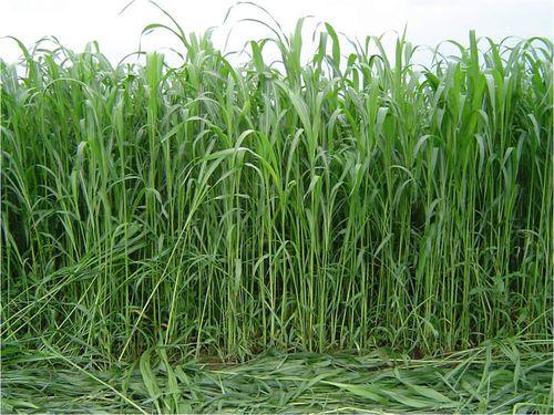 sudanska trava