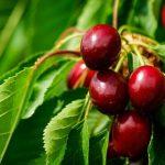 Mere za sprečavanje pucanja plodova trešnje