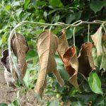 Bakteriozna plamenjača jabučastog voća – Erwinia amylovora