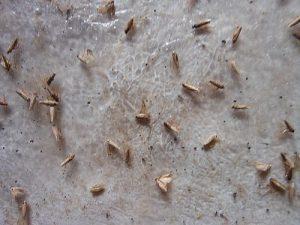 Krompirov moljac snimak sa feromonske klopke