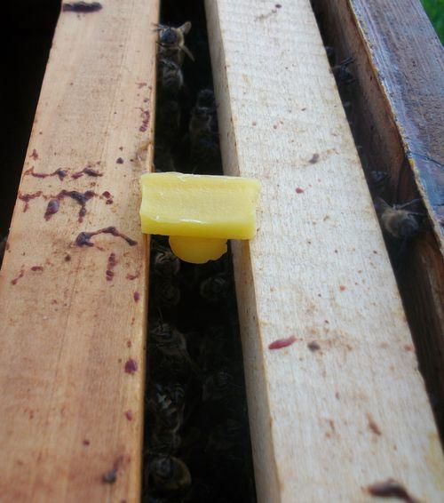 Postavljenje između ramova osnove matičnjaka sa presađenom larvom 1