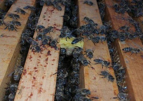 Prihvaćenu larvu pčele hrane i njeguju 1