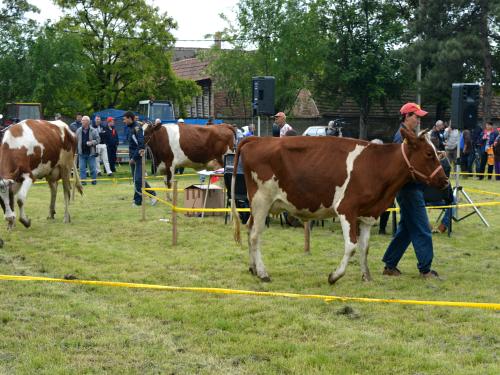 izlozba krave