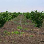 Zaštita zasada lešnika – korak po korak