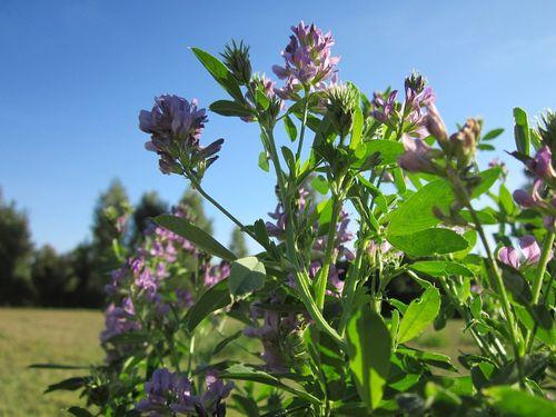 lucerka cvet krupno