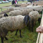 Kontrola i obrada papaka za zdravlje ovaca i koza