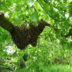 Umnožavanje pčelinjih društava