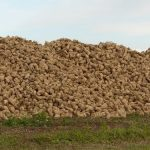 Rezanci šećerne repe u ishrani goveda