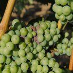 Siva plesan na grožđu – Botrytis cinerea