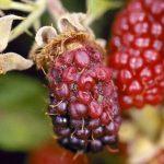 Zaštita maline i kupine od sive truleži u fenofazi cvetanja
