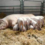 svinja krmaca i prasici
