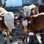 Stanje u klanicama u Srbiji zabrinjavajuće