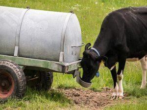 krava pije vodu veca