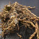 Korenove nematode na povrću i kako ih suzbiti