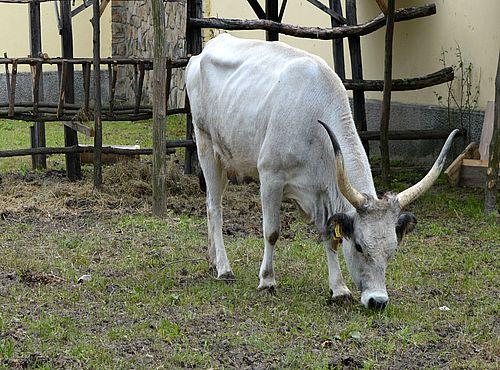 podolsko govece 2