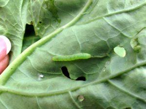 Larva kupusnog moljca