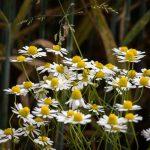 Kako sačuvati kvalitet lekovitog bilja posle sušenja