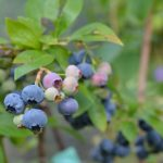 Borovnica traži specijalne klimatske i zemljišne uslove i navodnjavanje