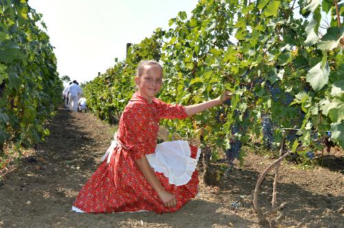 """Berba grožđa """"Oberačka"""" – Nakon svih nevolja biće i dobrog vina"""