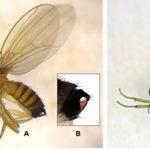 Registrovan rast broja jedinki voćne mušice u vinogradima i voćnjacima
