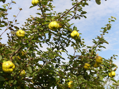 Dunja: Priprema zemljišta za sadnju i izbor sadnica