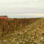 Kiša obustavila žetvu umanjenog roda soje i suncokreta