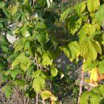 Malina i nakon berbe plodova zahteva negu i zaštitu