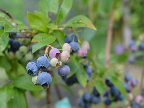 Kako povećati kiselost zemljišta za uzgoj borovnice